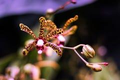 Orquídea del leopardo Fotografía de archivo libre de regalías