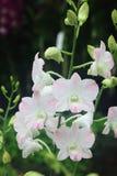Orquídea del melocotón del Dendrobium Imagen de archivo libre de regalías