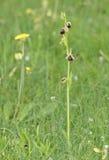 Orquídea del morio del Ophrys Fotografía de archivo libre de regalías