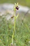 Orquídea del morio del Ophrys Foto de archivo libre de regalías