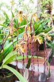 Orquídea del Paphiopedilum imágenes de archivo libres de regalías