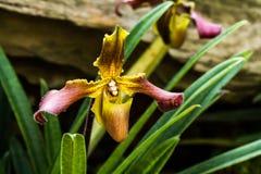 Orquídea del Paphiopedilum en el chiangmai Tailandia Imagen de archivo