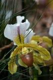 Orquídea del Paphiopedilum en flor Fotografía de archivo libre de regalías