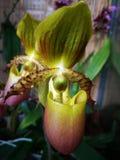 Orquídea del Paphiopedilum en flor Fotos de archivo