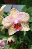 Orquídea del Phalaenopsis Imagenes de archivo
