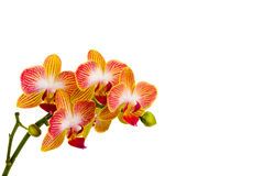 Orquídea del Phalaenopsis foto de archivo
