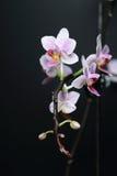 Orquídea del Phalaenopsis Fotos de archivo libres de regalías