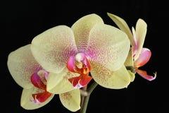 Orquídea del Phalaenopsis Imagen de archivo libre de regalías