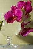 Orquídea del Phalaenopsis Fotografía de archivo