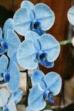Orquídea del Phalaenopsis Imagen de archivo