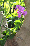 Orquídea del Phalaenopsis en un árbol Fotos de archivo libres de regalías