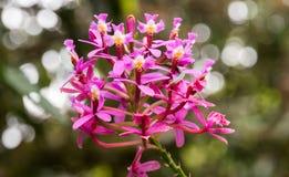Orquídea del rosa de hierba en caras del múltiplo del jardín Imágenes de archivo libres de regalías