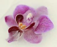 Orquídea delicada Fotografia de Stock Royalty Free