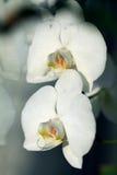 orquídea do branco da flor Fotos de Stock