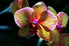 Orquídea do caleidoscópio Fotografia de Stock Royalty Free