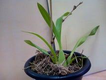 Orquídea do dançarino de Kandien imagens de stock