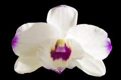 Orquídea do Dendrobium Imagem de Stock
