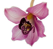Orquídea do Dendrobium Fotografia de Stock Royalty Free