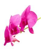 Orquídea do Dendrobium Foto de Stock