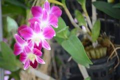 Orquídea do Dendrobium Foto de Stock Royalty Free