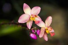 Orquídea do Dendrobium Imagens de Stock