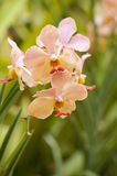 Orquídea do pêssego Fotos de Stock