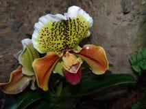 Orquídea do Paphiopedilum contra o fundo da rocha Fotos de Stock