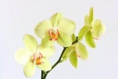Orquídea do Phalaenopsis foto de stock royalty free