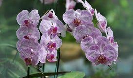 Orquídea do Phalaenopsis Imagem de Stock