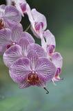 Orquídea do Phalaenopsis Imagens de Stock Royalty Free