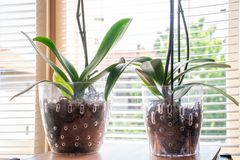Orquídea do Phalaenopsis dois no potenciômetro de flor transparente com carcaça e folhas verdes em casa e janelas no fundo foto de stock