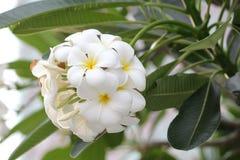 Orquídea do Plumeria e vida lenta clara da manhã Fotografia de Stock