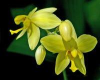Orquídea do terreno comum foto de stock royalty free