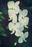 Orquídea do vintage Foto de Stock Royalty Free