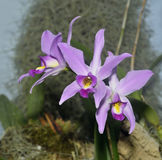 Orquídea doble del Laelia Imagen de archivo libre de regalías