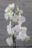 Orquídea e concreto brancos 14 Fotografia de Stock