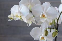 Orquídea e concreto brancos 18 Foto de Stock Royalty Free