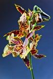 Orquídea em um fundo escuro foto de stock