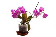 Orquídea em um potenciômetro em um fundo branco imagens de stock royalty free