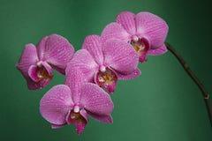orquídea en balneario de la tabla verde Imagenes de archivo