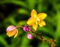 Orquídea en el chiangmai real Tailandia de la flora Imágenes de archivo libres de regalías