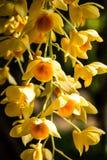 Orquídea en el chiangmai Tailandia Fotos de archivo