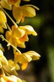 Orquídea en el chiangmai Tailandia Imagenes de archivo
