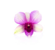 Orquídea en el fondo blanco Foto de archivo libre de regalías