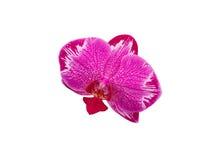 Orquídea en el fondo blanco, orquídea rosada de Yukidian fotografía de archivo