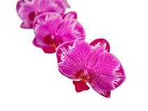 Orquídea en el fondo blanco, orquídea rosada de Yukidian foto de archivo libre de regalías
