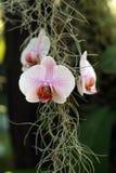 Orquídea en flor imagen de archivo