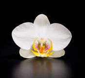 Orquídea en fondo negro Fotos de archivo