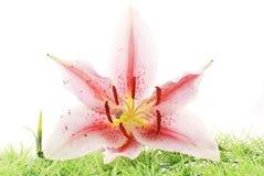 Orquídea en hierba Imagenes de archivo