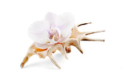 Orquídea en shell Fotos de archivo